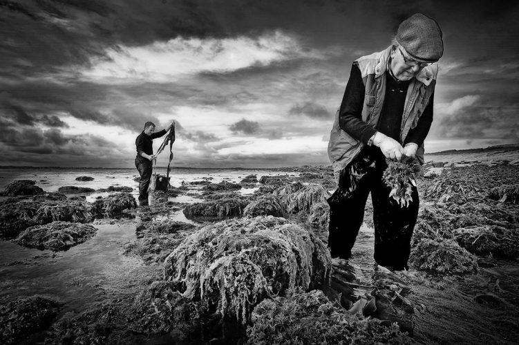 Wild Irish Seaweed harvesting